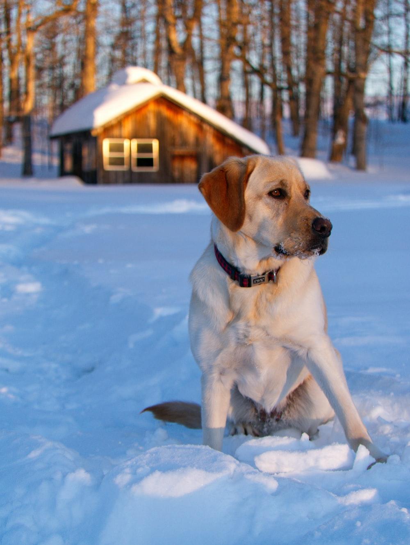 beige dog sitting on snow field