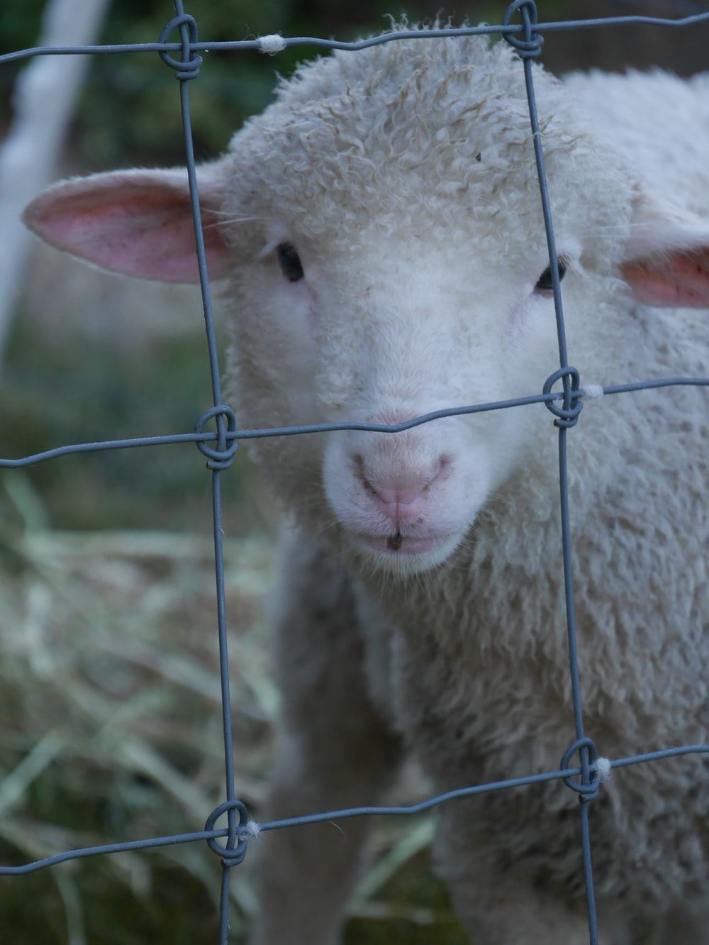 white sheep behind fence