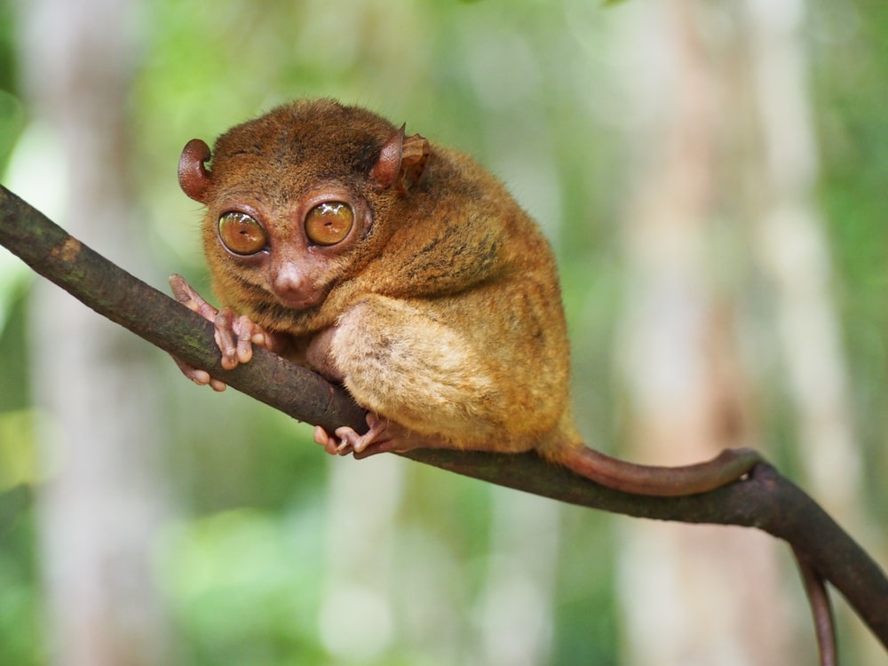 brown tarsier on branch