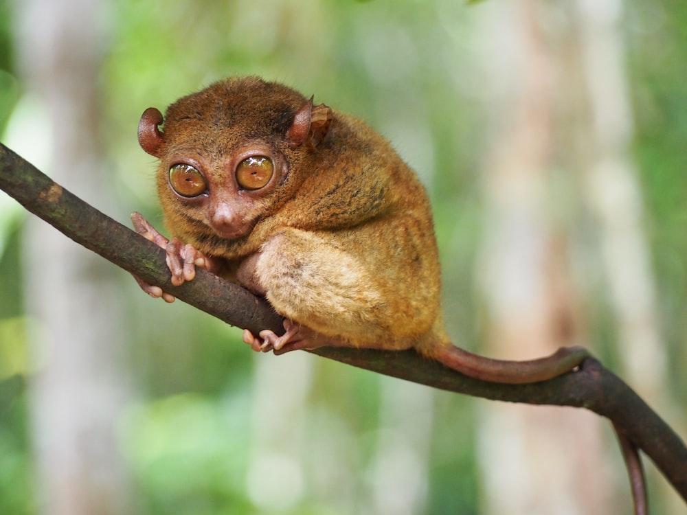 brown tarsier on branch