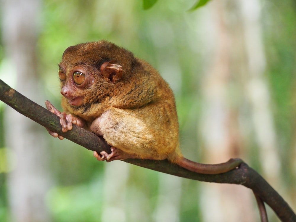 brown tarsier