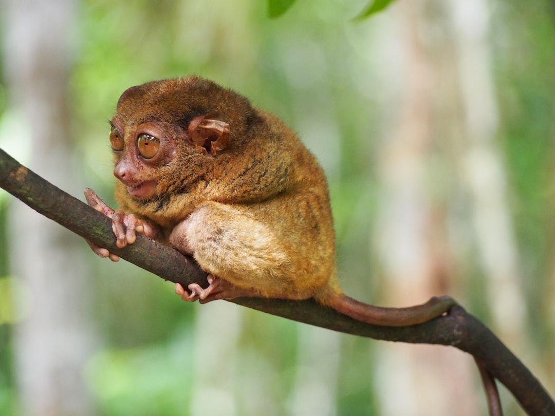 Tarsier.  primate. Animal