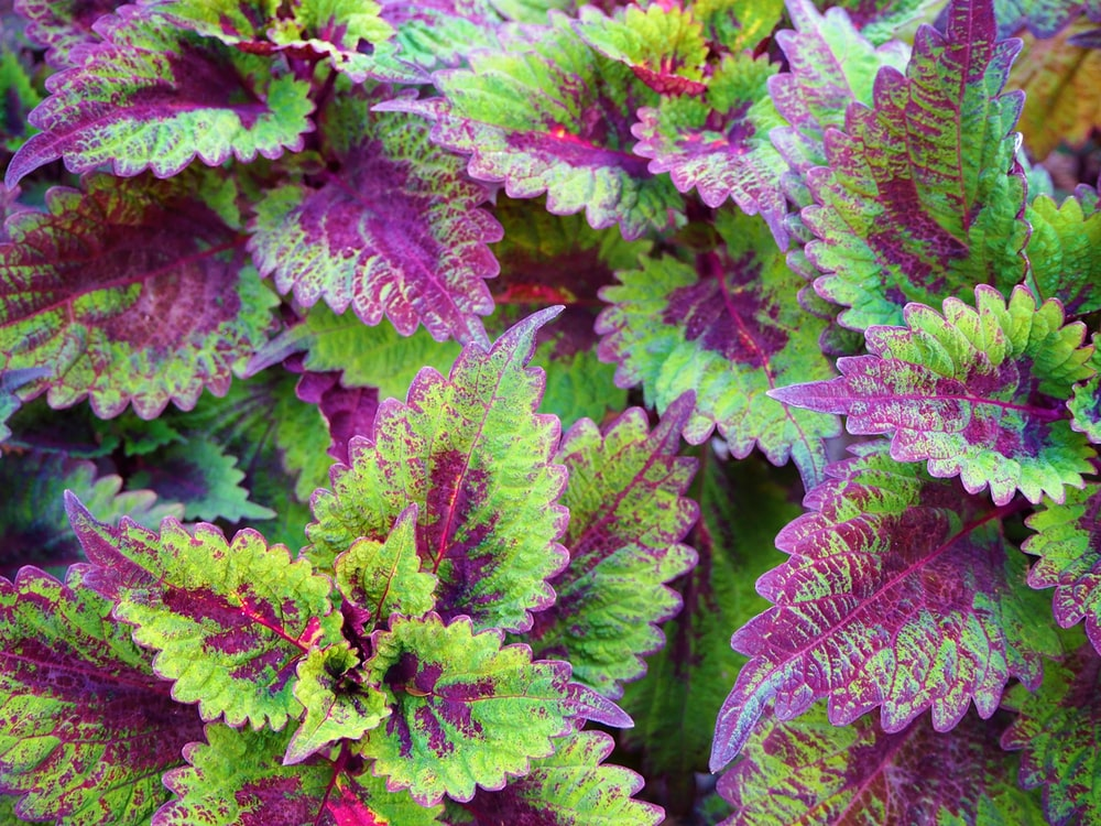 green and purple leaf plants