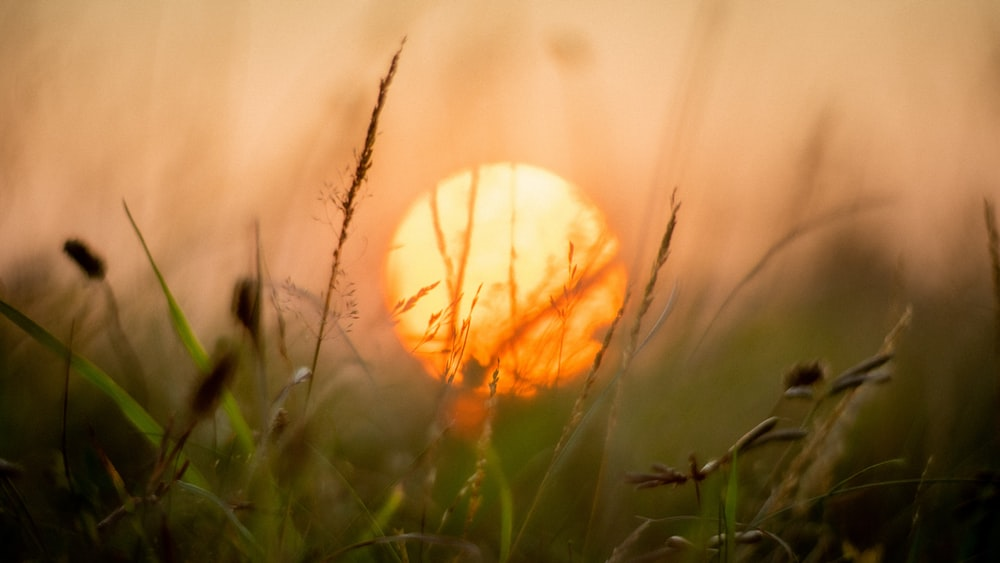 grasses and sun macro photography