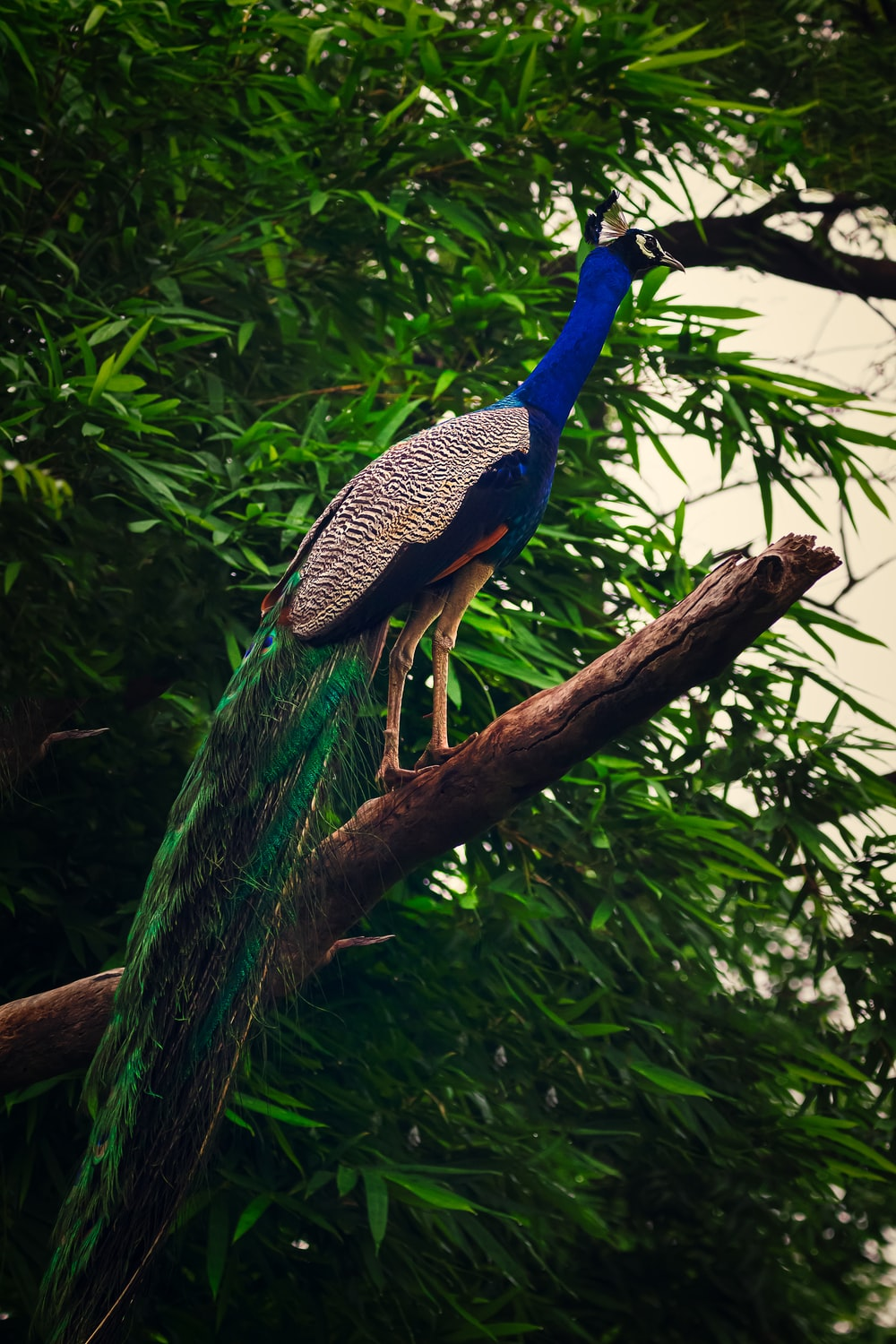 peacock perching on tree branch