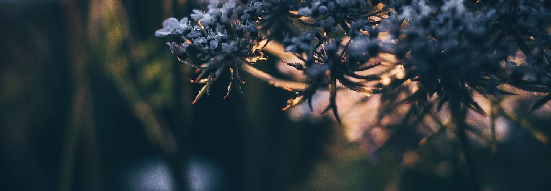 How to Grow Yarrow in Your Flower Garden