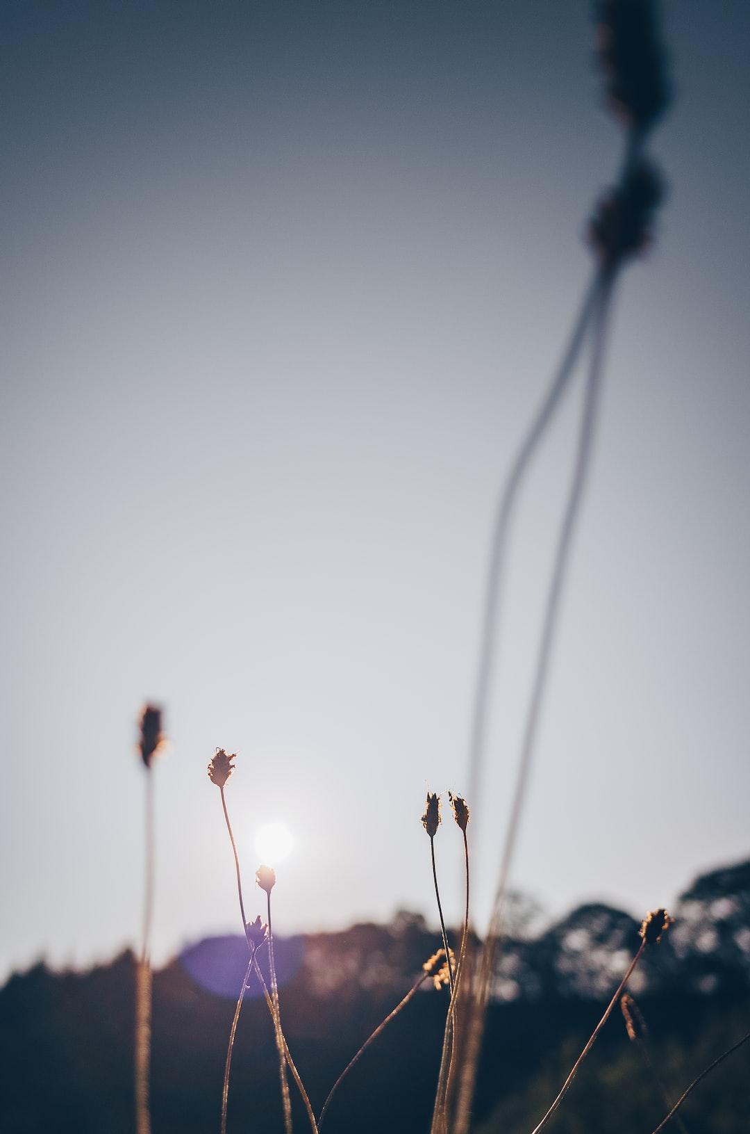 Ribwort plantain in the morning sun