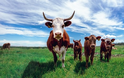 herd of cows on grassland during daytime cow zoom background