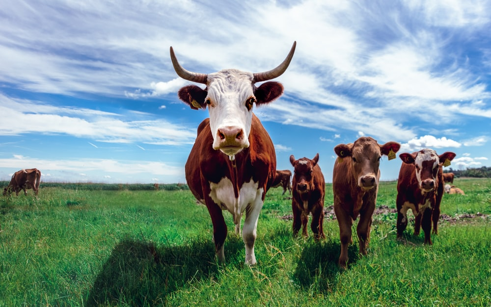 herd of cows on grassland during daytime