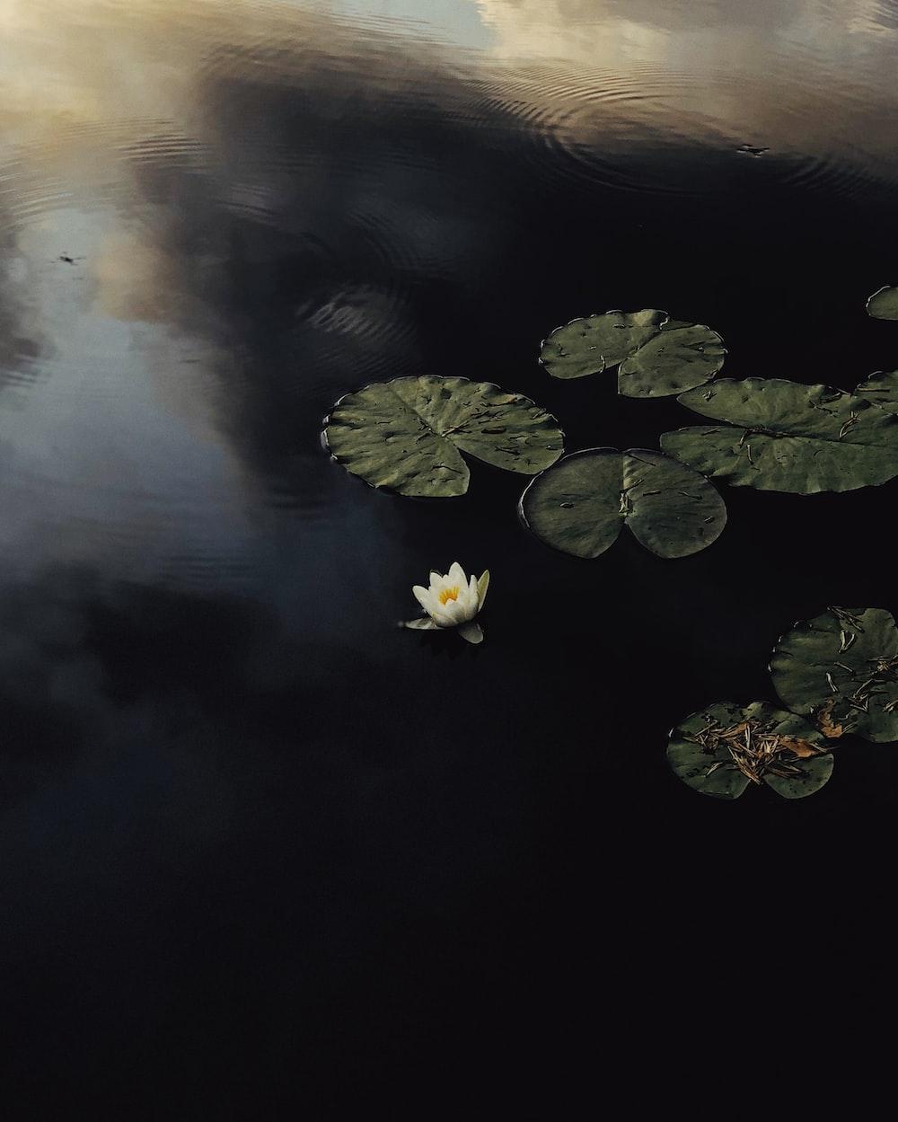 aerial view of white lotus pod on lake