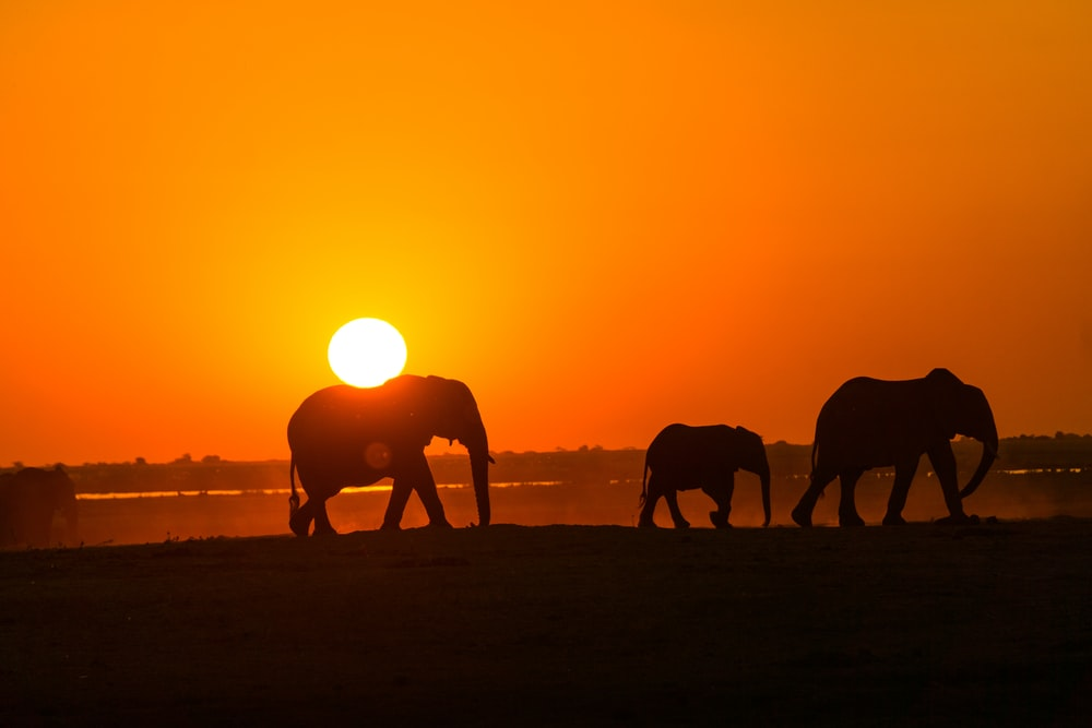 silhouette of elephants walking during sunset