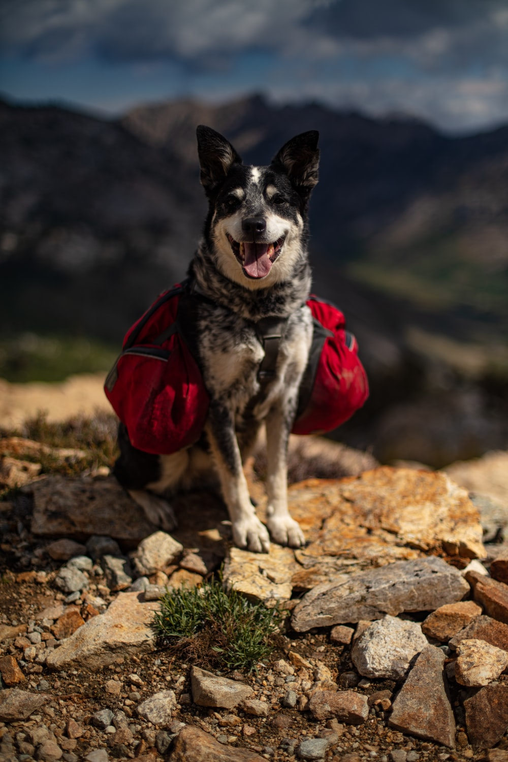 adult short-coated black and white dog with red bag on back on brown stones