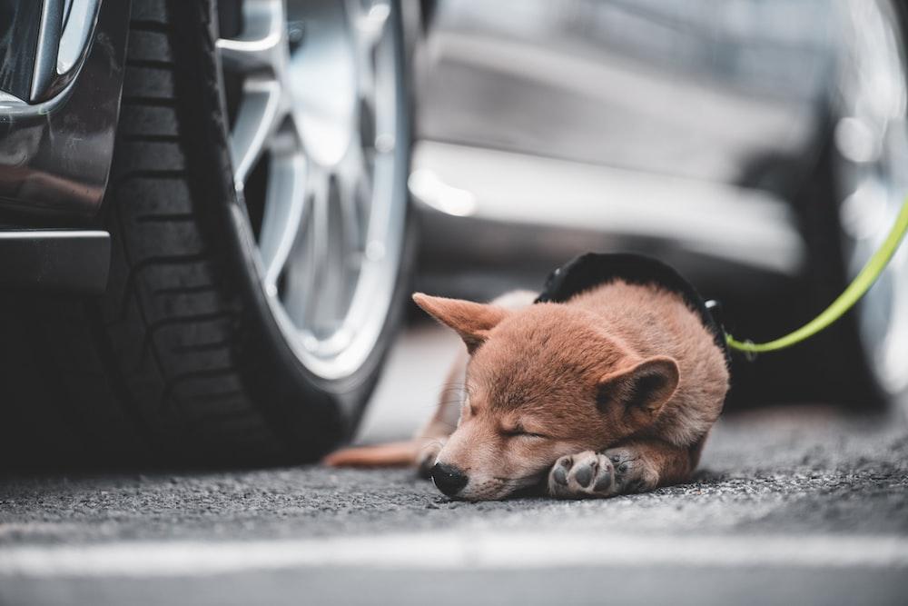 dog sleeping beside parked car
