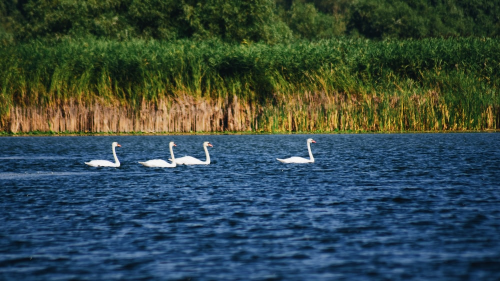 four white ducks on body of water