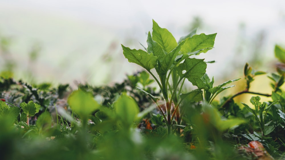green vegetable plant growing on ground