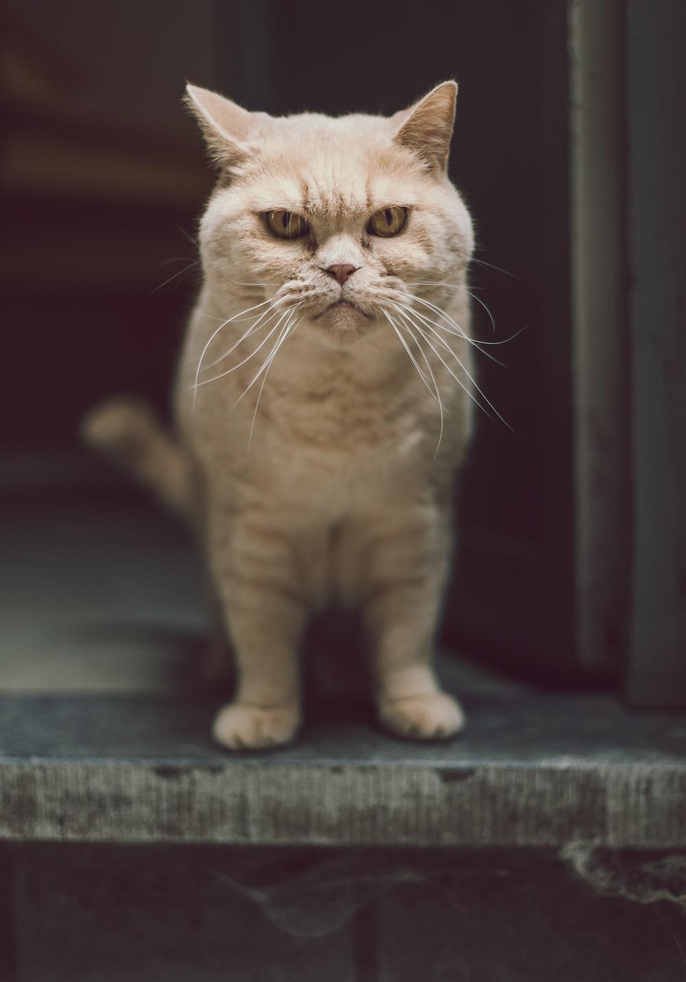 beige cat at the doorway