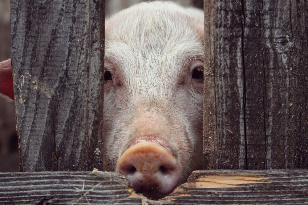 pig behind wooden fence