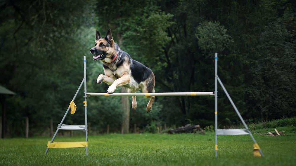 German shepherd jumping over gray rod