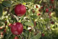 apple orchard apple stories