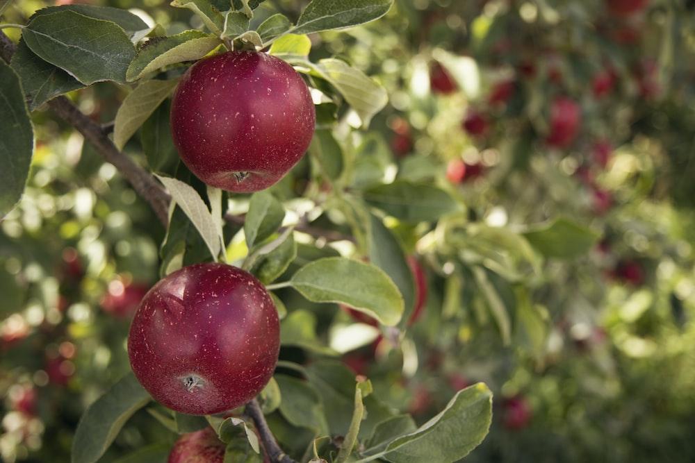 round red fruit