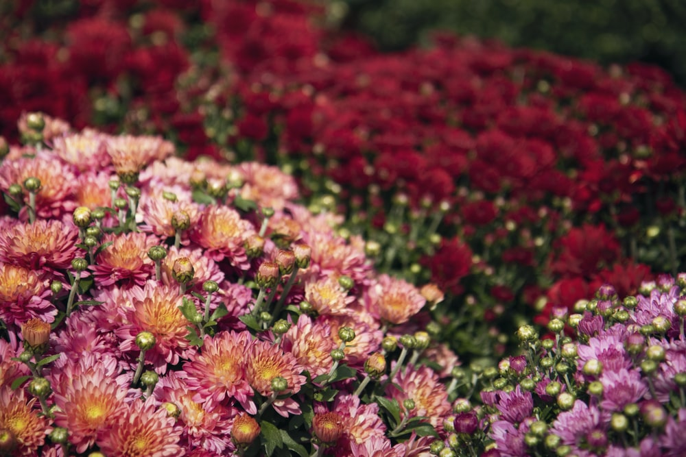 photo of red and pink flowers