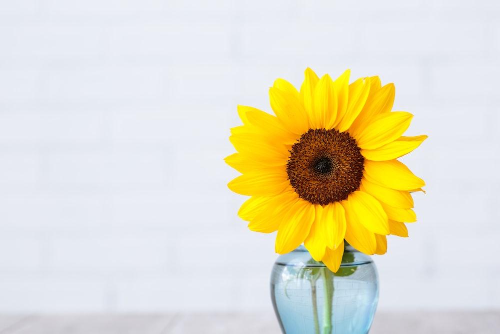 yellow sunflower in glass vase