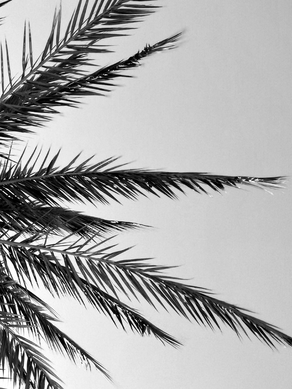 grayscale photography of coconut palm tree
