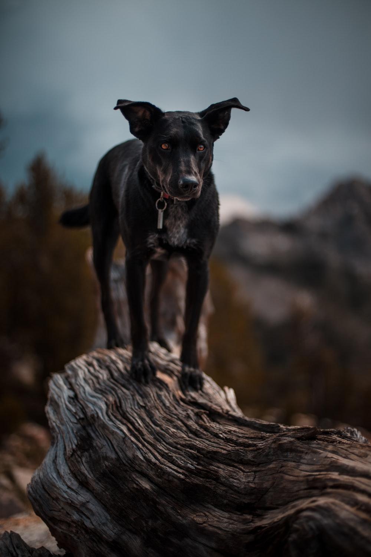 black dog on wood
