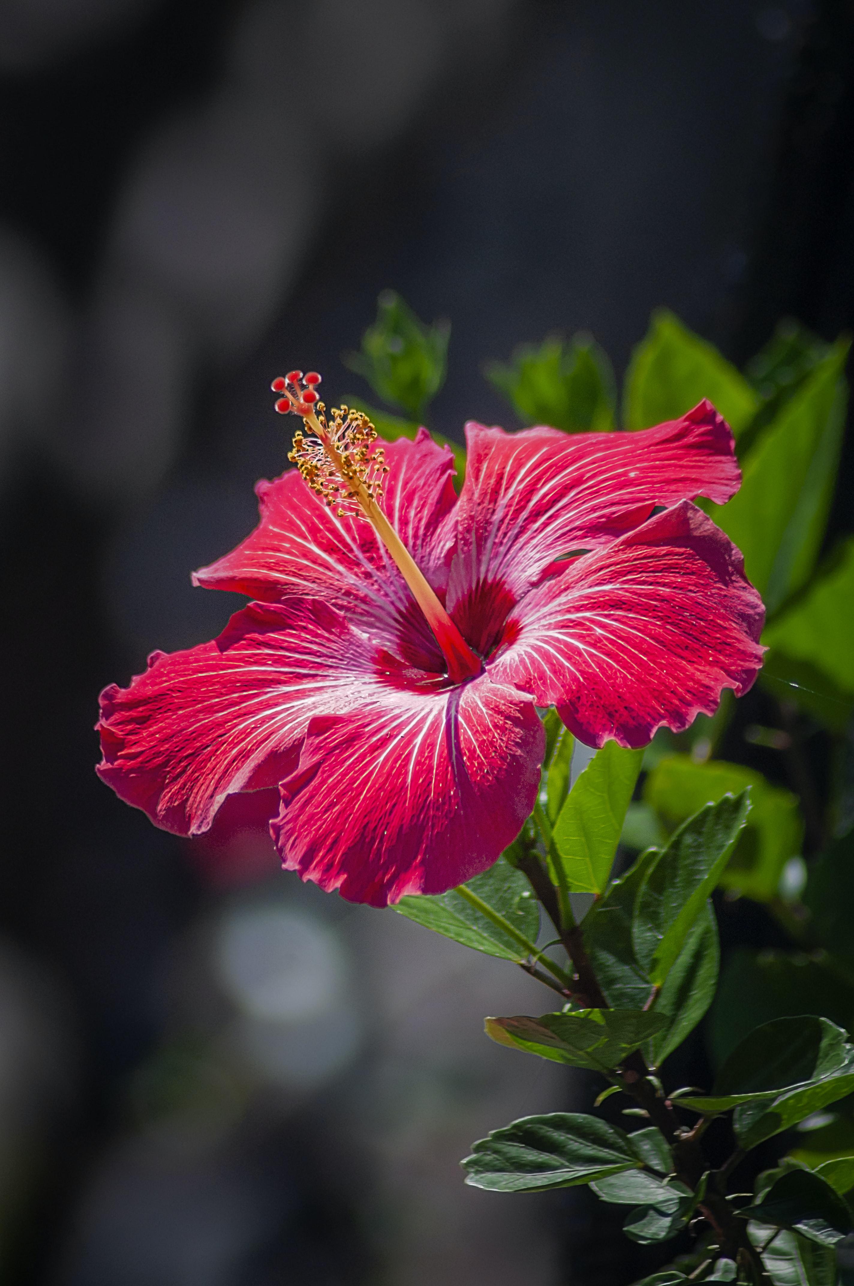 Red Hibiscus Flower Photo Free Plant Image On Unsplash