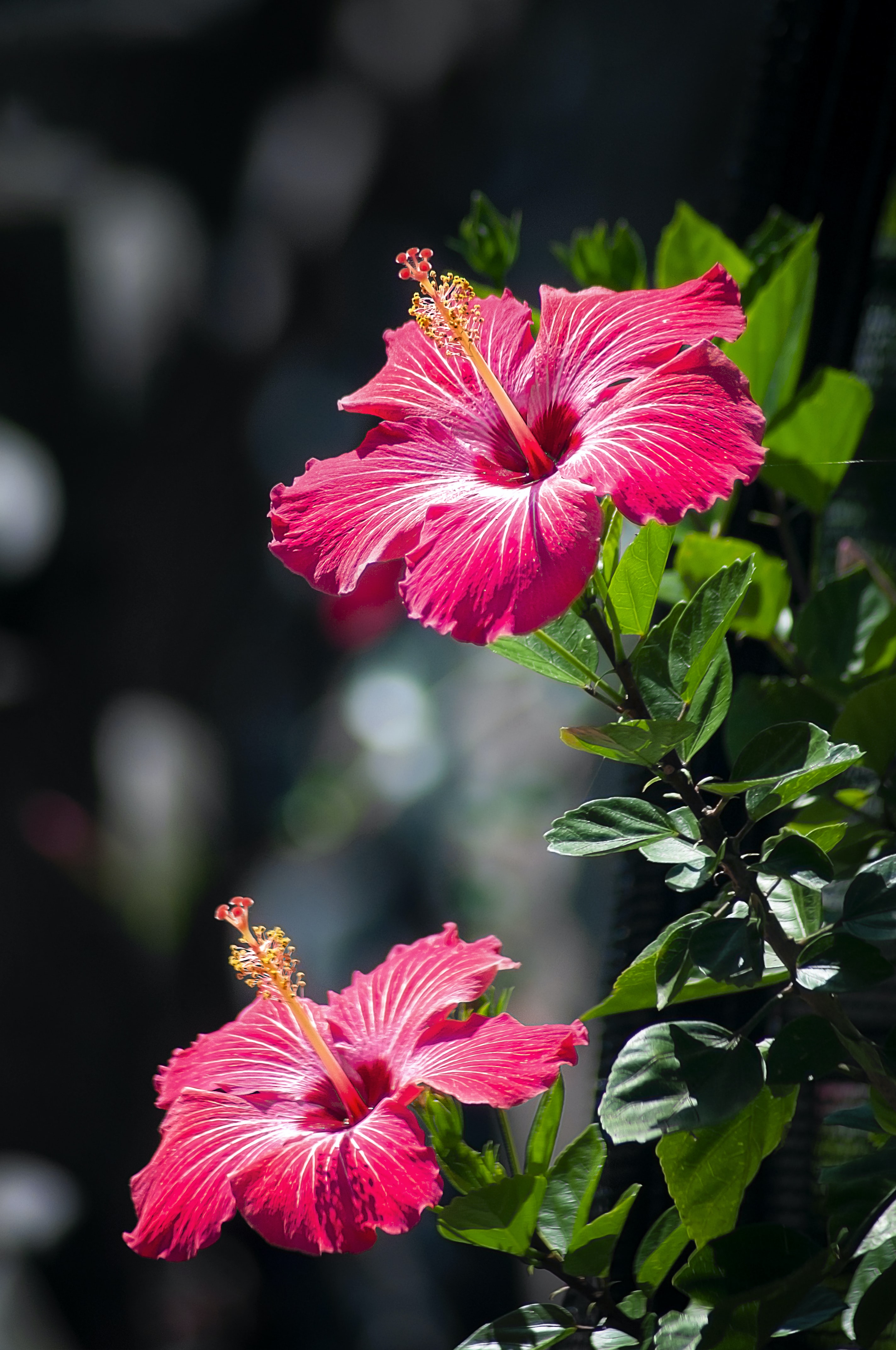 Two Pink Hibiscus Flowers Photo Free Image On Unsplash