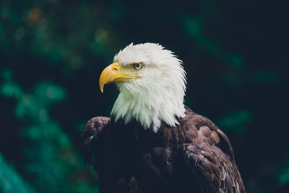 macro photography of bald eagle