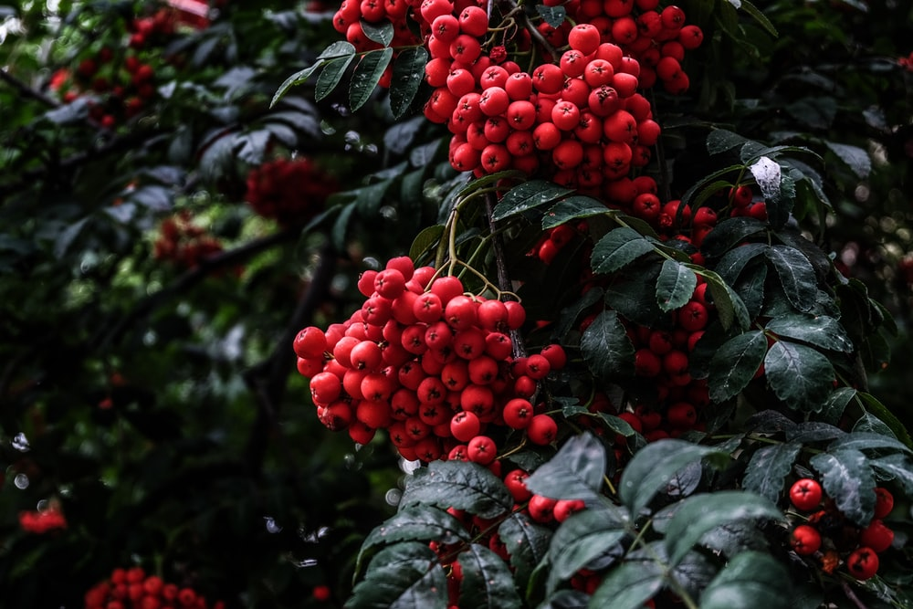 bunch of red fruits