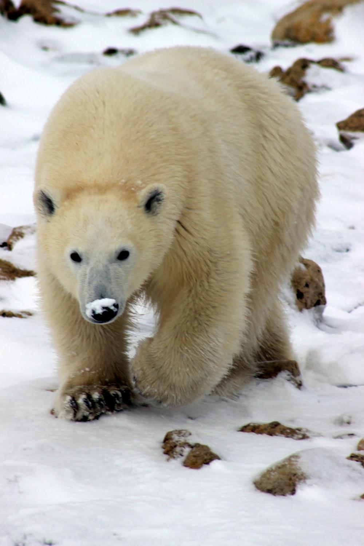 polar bear walking on snow field