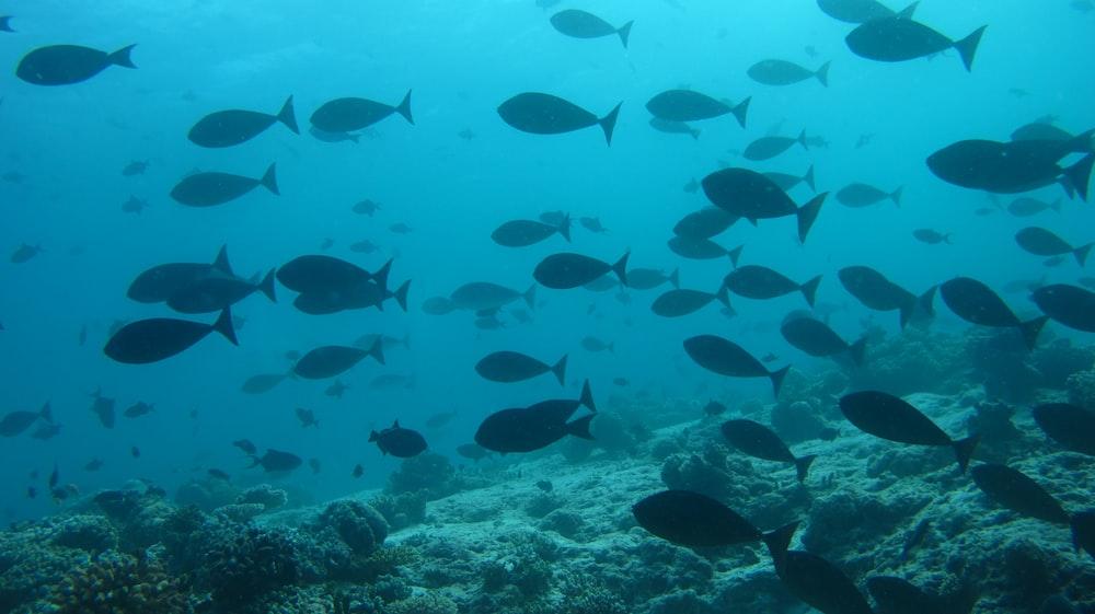 school of black fish