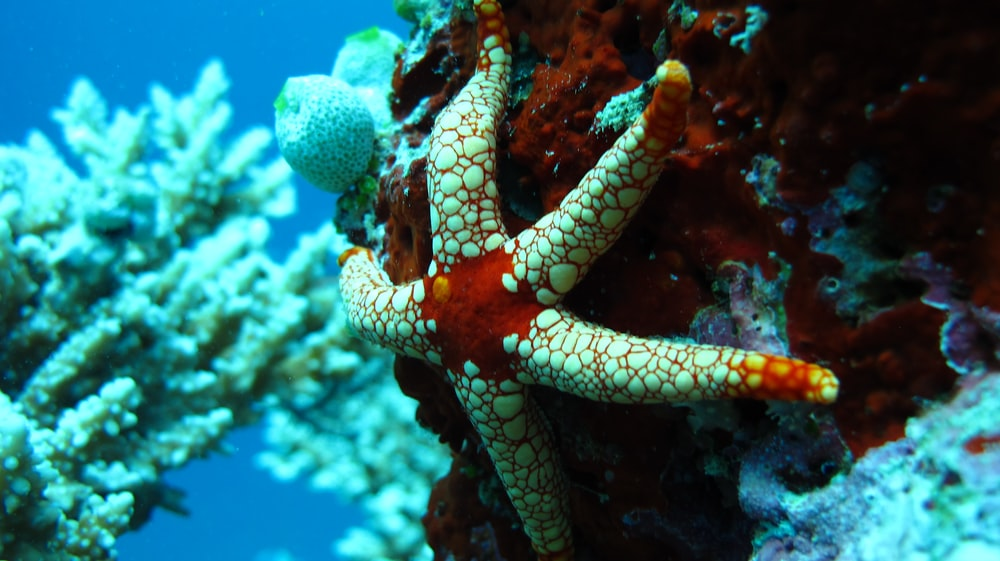 red and white starfish on coral