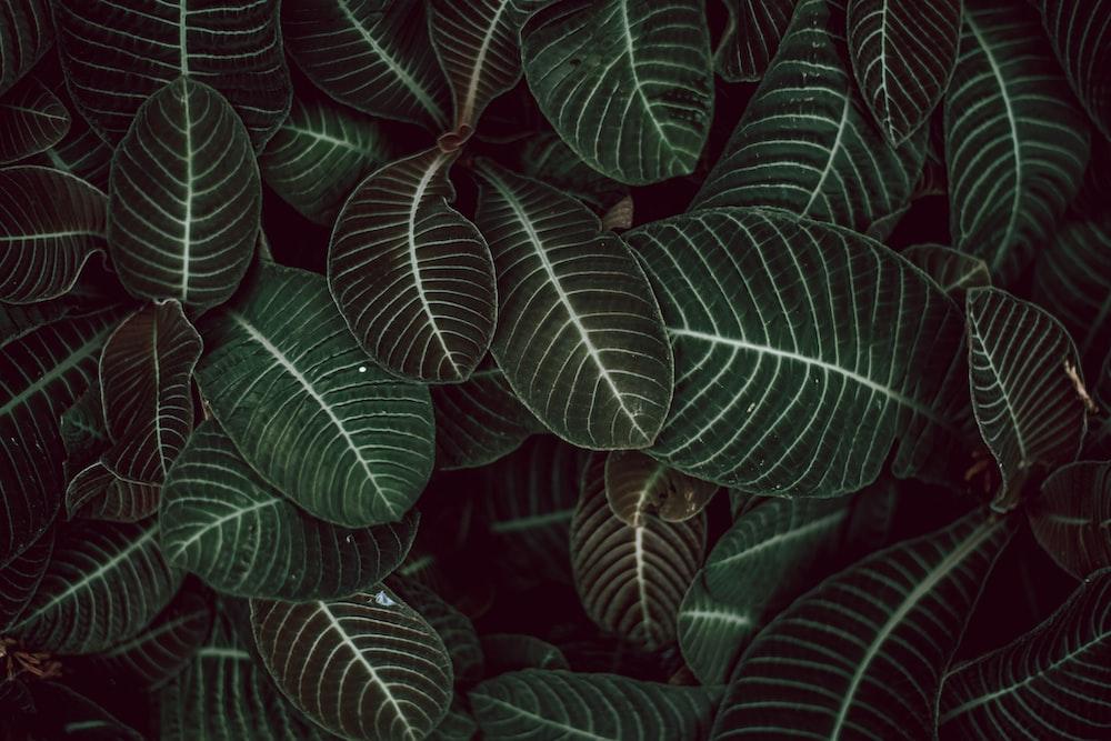green zebra plants