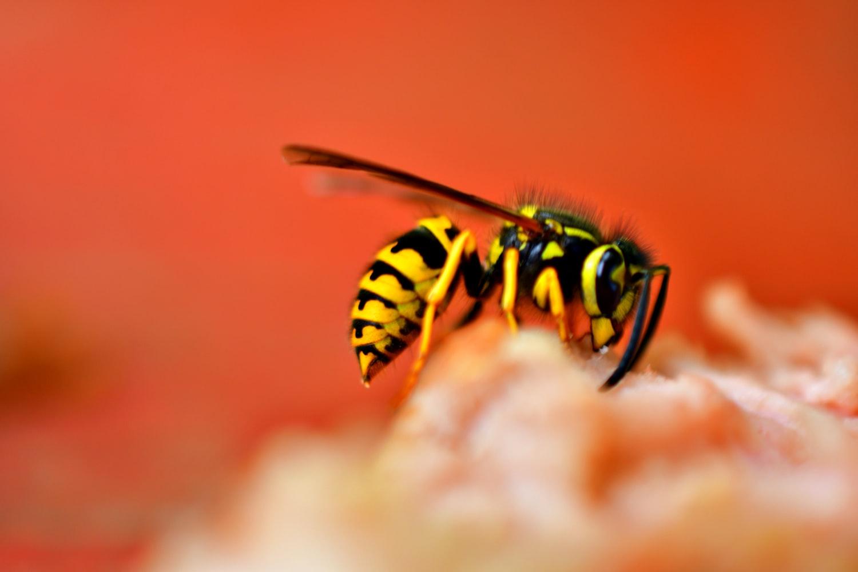 wasp on peach  flower