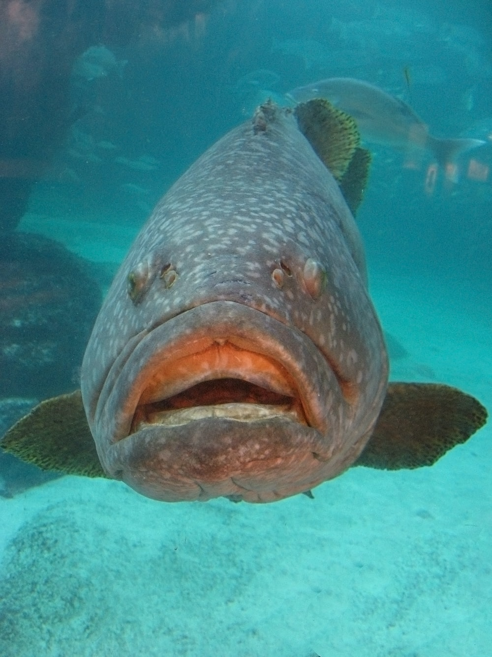 gray spotted fish