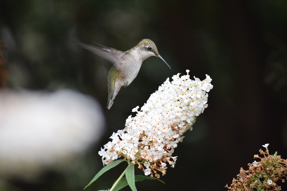 flying humming bird
