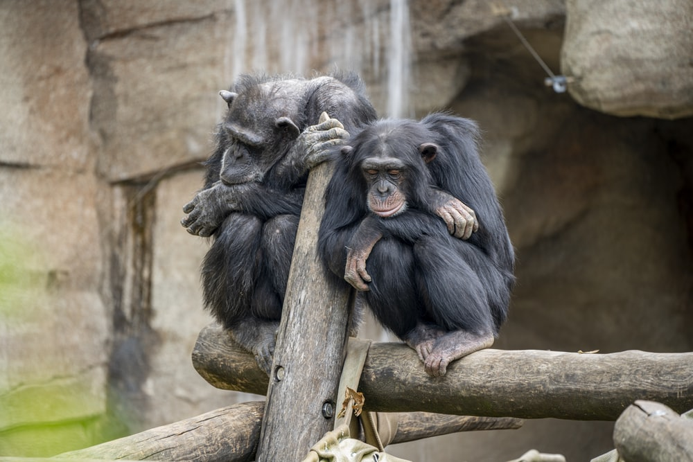 two primates on log