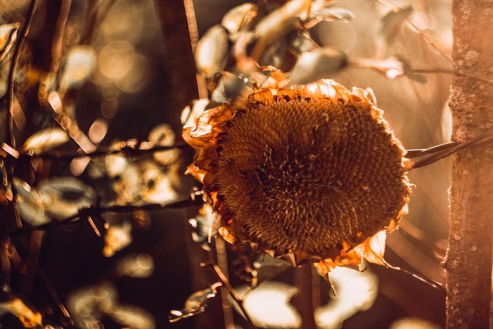 closeup photography of sunflower