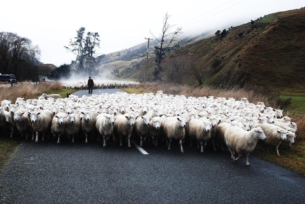 shuffle of white lamb on concrete pavement