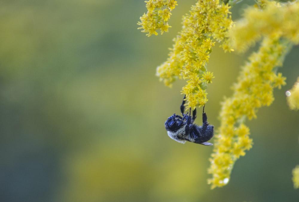 black bee macro photography