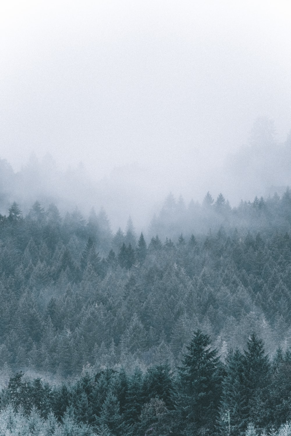 foggy icy green pine trees scenery