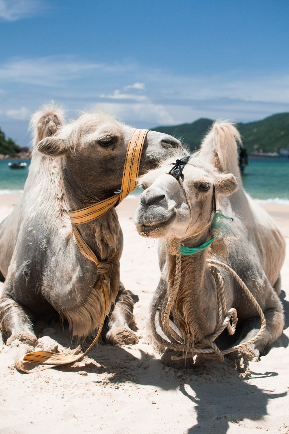 two grey camels