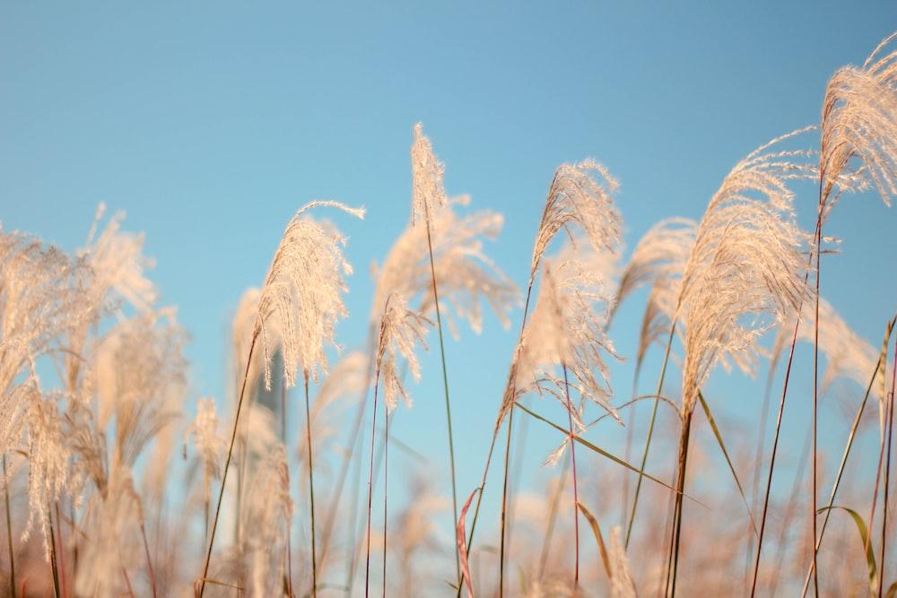 white grains
