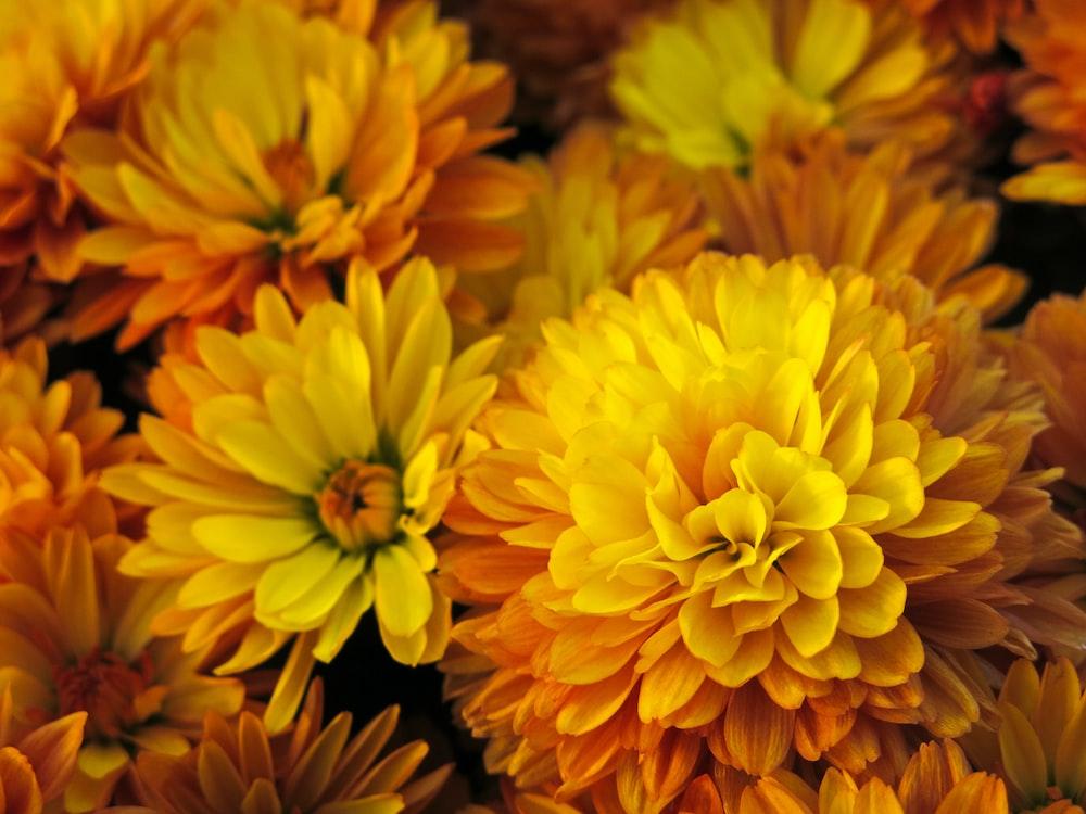 yellow multi-petaled flowers