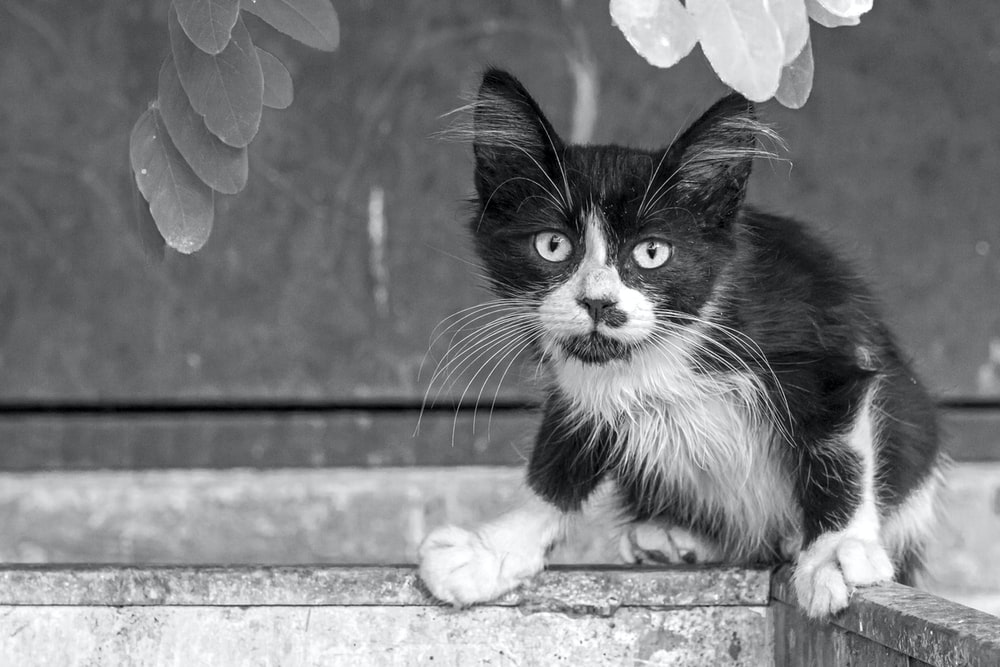 black and white kitten