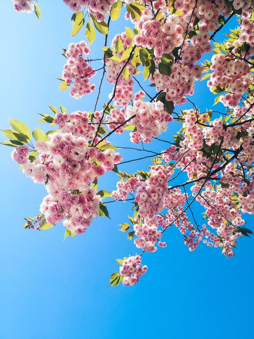 macro photography of blooming pink cherry blossoms