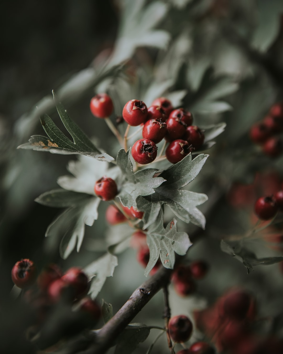 Crataegus monogyna. Red Berry.